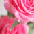 Profile picture of rosepetal098